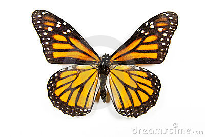 Butterfly Danaus Plexippus isolated