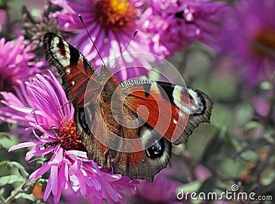 European Peacock butterfly on flower