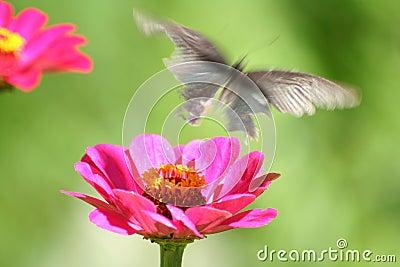 Butterfly-Faerie Mirage