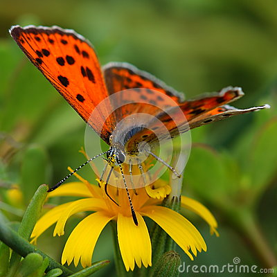 Free Butterfly Feeding On Yellow Flower Royalty Free Stock Photos - 26524048