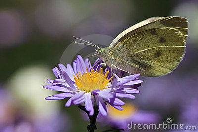 Butterfly feeding on purple flower