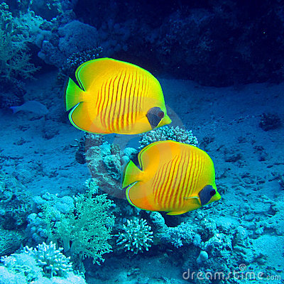 Free Butterfly Fish Stock Images - 17283324