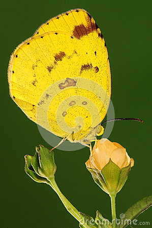 BUTTERFLY ON FLOWER,  Eurema hecabe