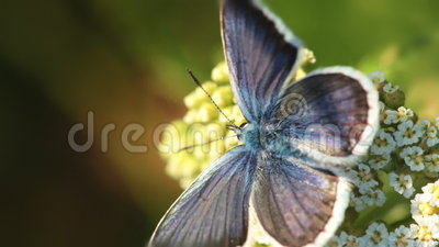 Butterfly and Flower. Macro. Butterfly crawling on a flower. Macro stock video