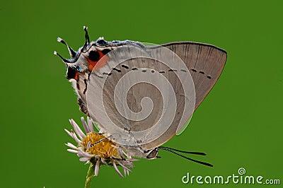 BUTTERFLY ON FLOWER,  Pratapa deva