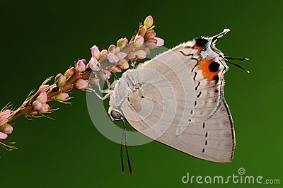 BUTTERFLY ON FLOWER,  Pratapa deva