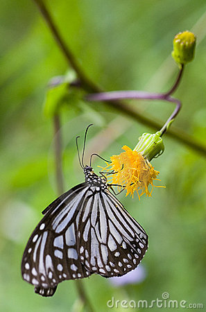 Free Butterfly - Glassy Tiger Stock Image - 8866971
