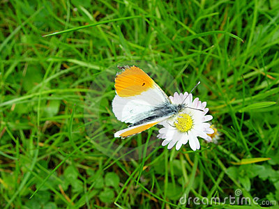 butterfly goes daisy