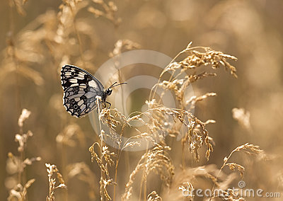 Butterfly in golden grass