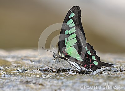 Butterfly (Graphium cloanthus)