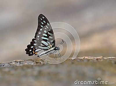 Butterfly ( Graphium leechi)