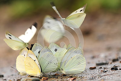 Butterfly on the ground, drink water