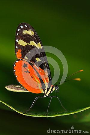 Free Butterfly Heliconius Hacale Zuleikas, In Nature Habitat. Nice Insect From Costa Rica In The Green Forest. Butterfly Sitting On The Royalty Free Stock Image - 75950986