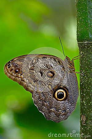 Free Butterfly In The Green Forest. Beautiful Butterfly Blue Morpho, Morpho Peleides, In Habitat, With Dark Forest, Green Vegetation, C Royalty Free Stock Photo - 75950665