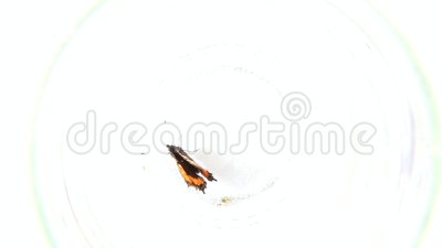 Butterfly inside the glass. Butterfly - nymphalidae, inside the glass stock video