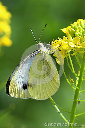 Free Butterfly - Large White (pieris Brassicae) On Yellow Flowers Stock Photography - 46435652