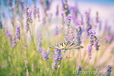 Butterfly at Lavender Bush