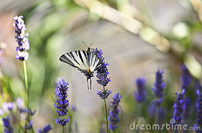 Butterfly on lavender flower