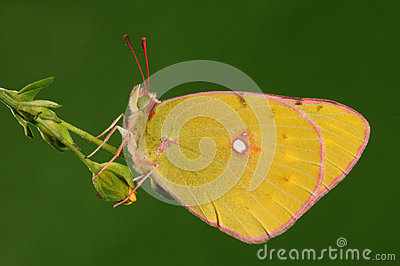 Butterfly on a leaf, Colias fieldii