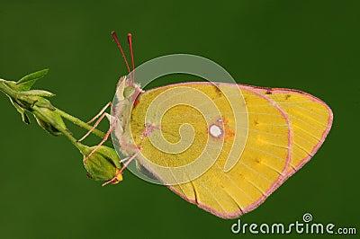 Butterfly on a leaf, Colias fieldii