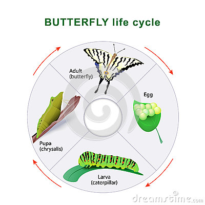 Free Butterfly Life Cycle. Metamorphosis. Royalty Free Stock Images - 76299779
