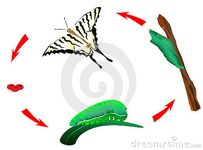 Butterfly life cycle. Metamorphosis. vector