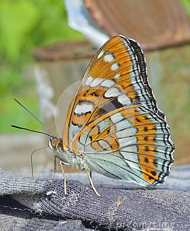 Free Butterfly (Limenitis Populi Ussuriensis) 1 Stock Photography - 47042452