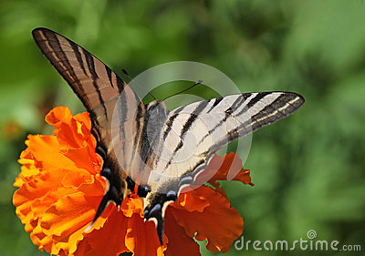 Butterfly on marigold flower