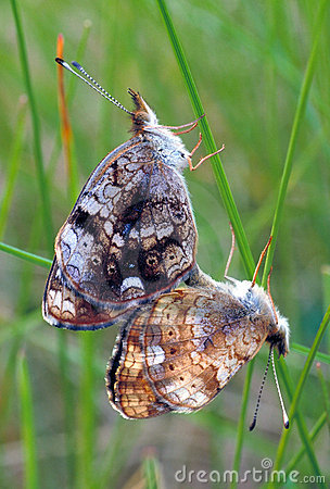 Free Butterfly Mating (SHARP) Stock Image - 5587201