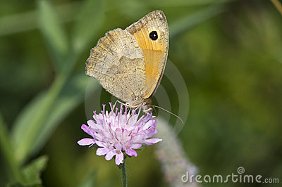 Butterfly Meadow Brown (Maniola jurtina)