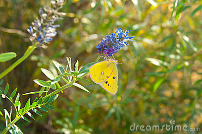 Butterfly - monarch
