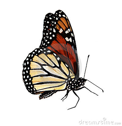 Free Butterfly Monarch Royalty Free Stock Photography - 5868107
