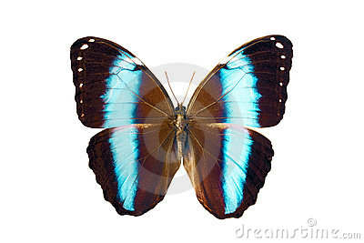 Butterfly - Morpho Achilles Amazonicus
