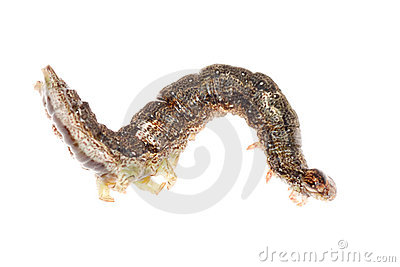 Butterfly moth caterpillar larva
