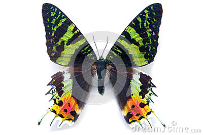 Butterfly moth Chrysiridia rhipheus on white background. From Ma