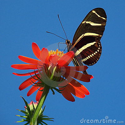 Free Butterfly On Bright Red Flower Stock Image - 4066501