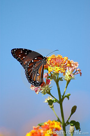 Free Butterfly On Butterfly Bush Stock Photography - 278472