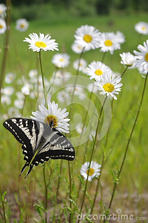 Free Butterfly On Daisy Stock Image - 31670951