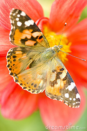 Free Butterfly On Flower Royalty Free Stock Photos - 14820248