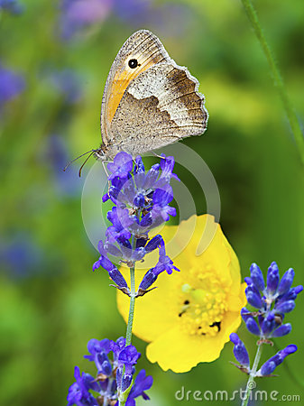 Free Butterfly On Lavender Blossom Royalty Free Stock Photography - 60476077