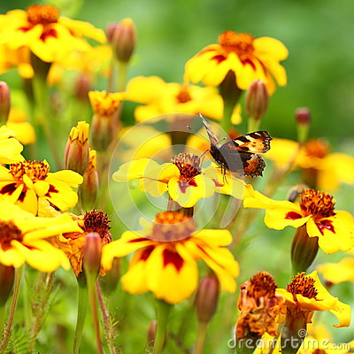 Free Butterfly On Marigold Flower Royalty Free Stock Photography - 62163957
