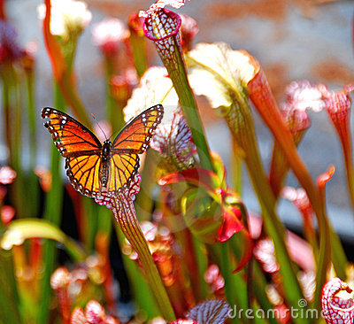 Free Butterfly On Pitcher Plant Stock Photos - 2513813