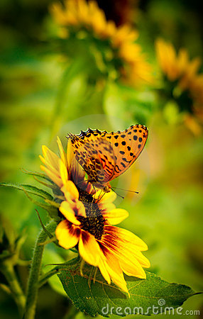 Free Butterfly On Sunflower Stock Photography - 16985802