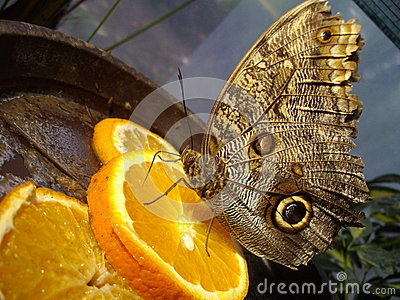 Butterfly on orange slice