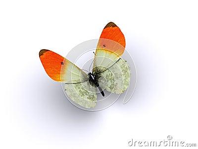 Butterfly orange wing tips