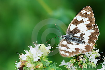 Butterfly on oregano flowers