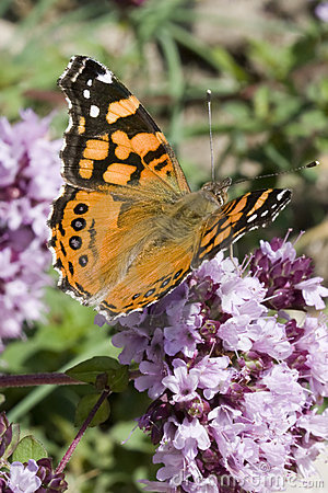 Free Butterfly (Painted Lady) Royalty Free Stock Image - 5898716