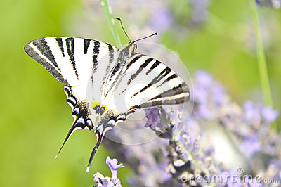 Butterfly Papilio Machaon on lavender