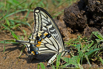 Butterfly (Papilio xuthus) 16