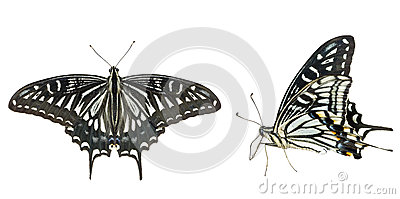 Butterfly (Papilio xuthus) 30